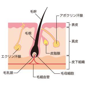 毛乳頭と毛の仕組み